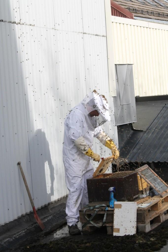 Jo mer Erik holder på, jo flere bier flyr opp fra kuben. Flere av dem finner seg godt til rette på hatten hans. Det er viktig å ha lue under, ellers kan man bli stukket i hodet.